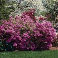 садові квітучі чагарники
