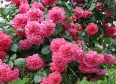 які троянди найневибагливіші і зимостійкі