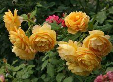 морозостійкі троянди