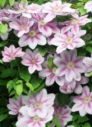 квітка клематис