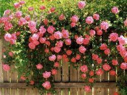 чагарники квітучі все літо