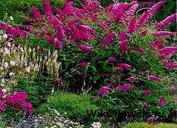 квітучі чагарники для саду