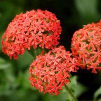 лихнис вирощування з насіння