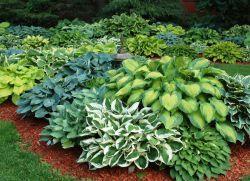 Багаторічні декоративні рослини для саду