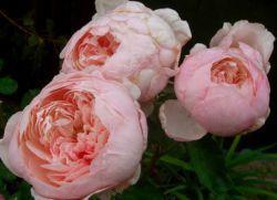 багаторічники для дачі квітучі все літо
