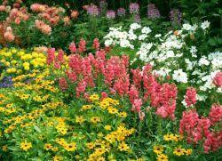 Однорічні квіти, квітучі все літо
