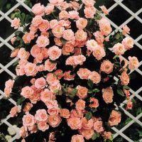 в`юнкі троянди квітучі все літо зимостійкі сорти