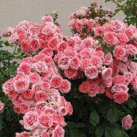 які в`юнкі троянди квітнуть все літо