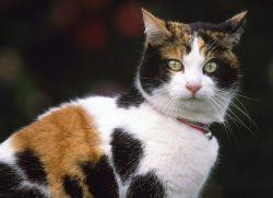 Триколірна кішка - прикмети