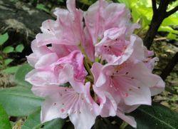 Рододендрони вирощування і догляд