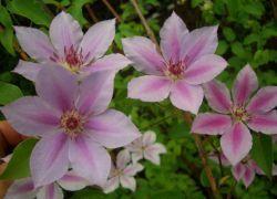 садові квіти багаторічники