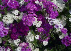 садові квіти багаторічники цвітуть все літо