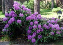 Тіньолюбні квітучі чагарники