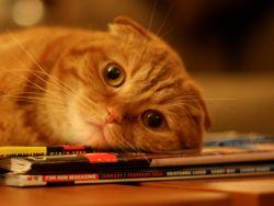 Рідкий стілець у кота