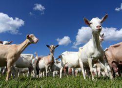 Жирність козячого молока
