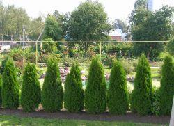 Вічнозелені кущі для живоплоту