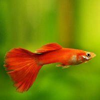 Живородящі акваріумні рибки