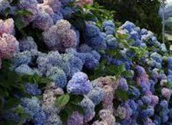 зимостійкі чагарники квітучі все літо